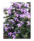 Philippine Violet Seeds, Barleria cristata, Hardy Shrub Lavender Blooms. Direct from The Grower in The USA! (10+ Seeds)