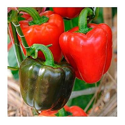 David's Garden Seeds Pepper Bell Yolo Wonder 8977 (Red) 50 Non-GMO, Open Pollinated Seeds : Garden & Outdoor