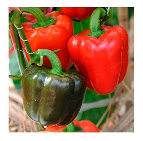 David's Garden Seeds Pepper Bell Yolo Wonder 8977 (Red) 50 Non-GMO, Open Pollinated Seeds