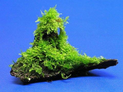 Wasserflora Wurzel mit Christmas-Moos / Vesicularia montagnei