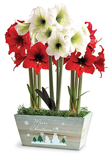 BloomingBulb 91154 Red & White Delight Amaryllis Pre-Planted Bulb Gift