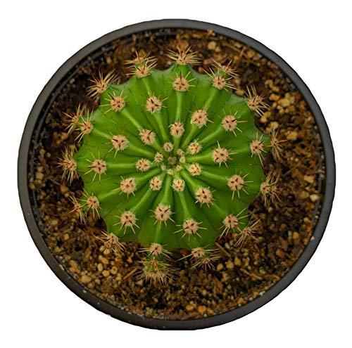 Echinopsis Oxygona Easter Lily Cactus - 4 inch -