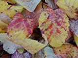 1 Strater Plant of Acer Pectinatum 'Mozart' - Mozart Snakebark Maple