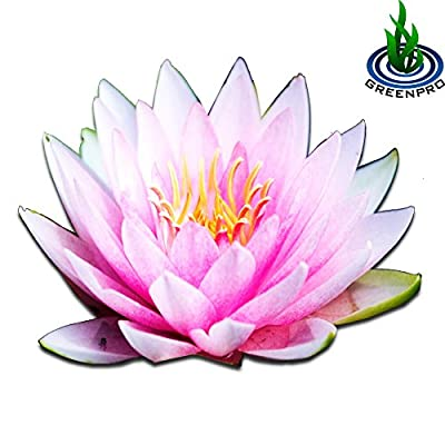 Live Aquatic Plant Nymphaea Fabiola Louisiana Pink Hardy Water Lilies Tuber for Aquarium Freshwater Fish Pond by Greenpro