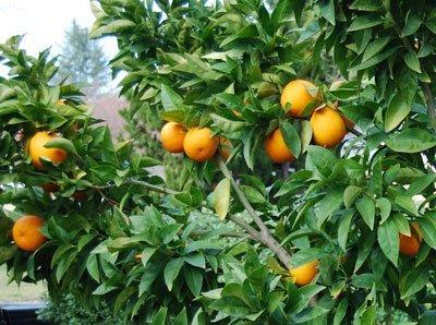 Dwarf Blood Orange Tree - Lulan Blood Orange Tree Seeds - Large Citrus Orange Trees Fruit 6 Seeds
