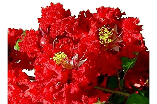 Flowering Trees Red - Dynamite Red Crape Myrtle - Live Plants Shipped 1 Foot Tall by DAS Farms (No California)