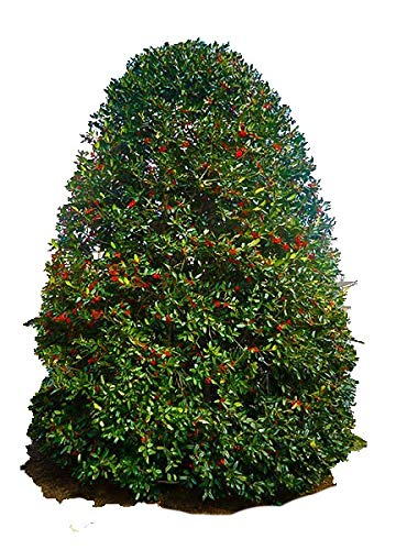 "Nellie R Stevens Holly Tree - 1 Gallon Potted - Evergreen Plant - 18-36"" Tall - 1 Plant by Growers Solution"