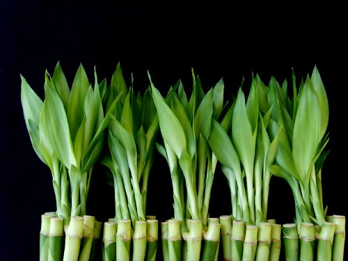 50 Stalks (5 Bundles) of 8 Inches Straight Lucky Bamboo Plants From Jm Bamboo by JM BAMBOO (Image #1)