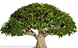 Antidesma acidum 12 Seeds Bonsai - Deck Gardens Rare! Purple Flower Clusters