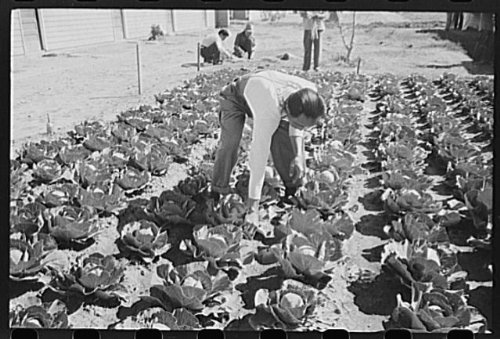 Photo: Agricultural worker in cabbage field,Yuma - Stores Arizona In Yuma