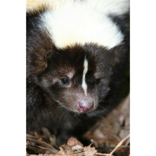 Striped Skunk Poster by Silk Printing # Size about (60cm x 90cm, 24inch x 36inch) # Unique Gift # 710EC8
