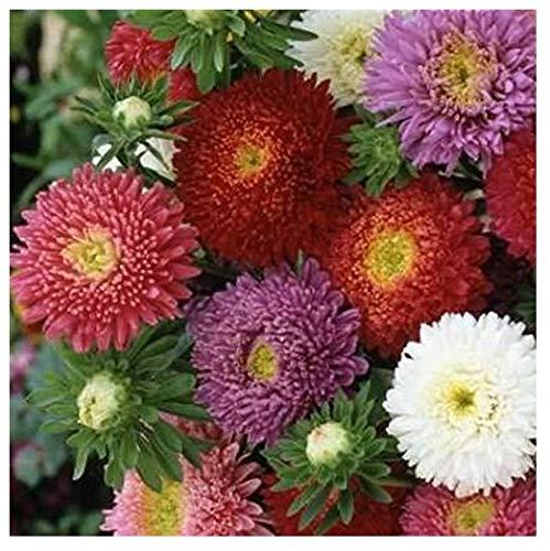 David's Garden Seeds Flower Aster China Powderpuff Mix SL8790 (Mulit) 500 Open Pollinated Seeds