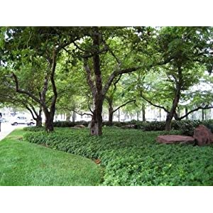 Classy Groundcovers - Pachysandra terminalis {50 Bare Root Plants} 45