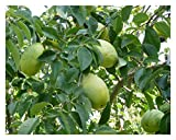 1 PAW PAW TREE, 8-10 INCH SEEDLING,TREES, EDIBLE FRUIT, LIVE PLANTS