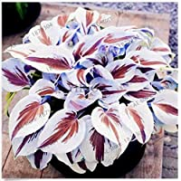 Seeds Package Not Plants: Pcs/Bag Hosta Seeds s Seedsain Rare Lily Flower Lace Home Seed
