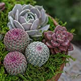Altman Plants, Live Succulent Plants Fairy Garden
