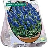 Muscari Armeniacum 100 Stück Blumenzwiebel