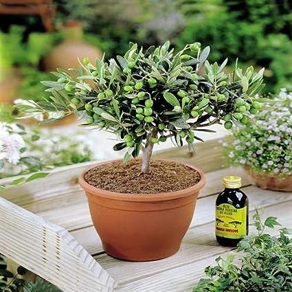 Extrem Olivenbaum - 1 baum: Amazon.de: Garten BK58