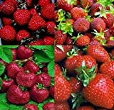 STRAWBERRY 4 VARIETY SEED PACK Tested to grow