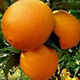 GRAFTED Washington Navel Orange Citrus Tree for patio or container [GC020] Ca...