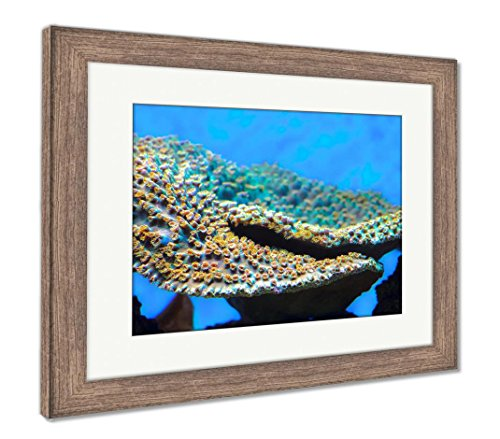 Ashley Framed Prints Montipora Coral Montipora Is A Genus Of Small Polyp Stony Coral In The Phylum, Wall Art Home Decoration, Color, 30x35 (frame size), Rustic Barn Wood Frame, (Montipora Coral)