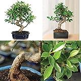 Bonsai Golden Gate Ficus Tree Foliage Plant 7 Years Tropical V3
