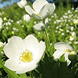 150 Canada Anemone Native Wildflower Seeds