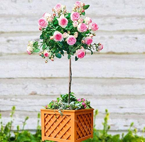 AGROBITS Semillas: 200pcs / Bag Rose Bonsai Plantas en Maceta Interior y Exterior de la Familia de Las Cosas decoración del jardín de Rose Tree: 4: Amazon.es: Jardín
