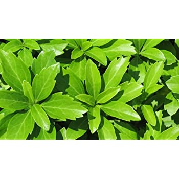 Pachysandra Terminalis Japanese Spurge Groundcover - 100 Bare Root on cakes with designs, outdoor screens with designs, portraits with designs, walls with designs, flower pots with designs,