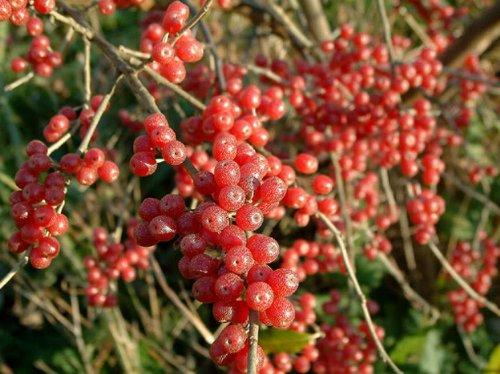 Autumn Olive Shrub - 1