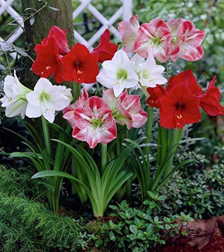 5 Mix Amaryllis Bulbs - Hippeastrum Bulbs Grow Indoor or Out