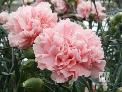 50 La France PINK CARNATION Dianthus Caryophyllus Chabaud Flower SeedsComb S/H by - France To Mail Class First