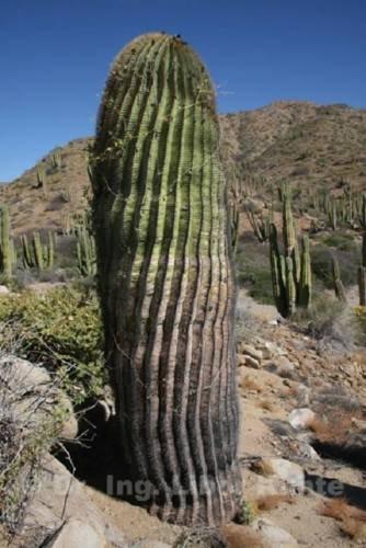 Cactus - Ferocactus diguetiiGiant barrel cactus - 5 small (Plant Barrel Cactus)