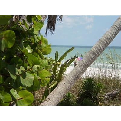 50 UMBRELLA PALM TREE Papyrus Sedge Cyperus Involucratus Seeds : Tree Plants : Garden & Outdoor