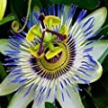 12 Seeds Blue Passion Flower (Passiflora Caerulea) Fruit Plant