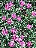 Delosperma cooperii - Iceplant, Hardy