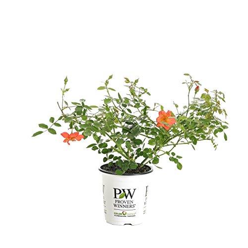 Landscape Roses - Oso Easy Hot Paprika Landscape Rose (Rosa) Live Shrub, Orange Flowers, 4.5 in. Quart