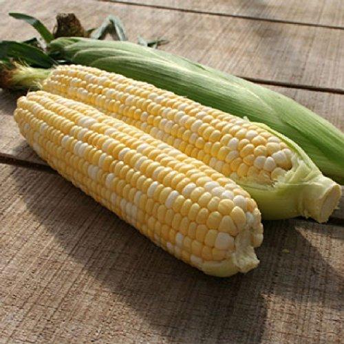 David's Garden Seeds Corn Sweet Bilicious T11COR (Multi) 100 Hybrid - Mall Augusta In