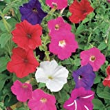 Suttons Seeds 127512 Mélange graines de Pétunia F2 Cheerful