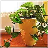 Variegated Golden Pothos Devil's Ivy Epipremnum Aureum 1 Plant Root