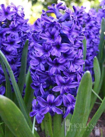 Blue Jacket Hyacinth Jumbo Pack by Holland Bulb Farms