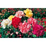Perennial: MIX CARNATION SEEDS *6 Different Colors* Very Fragant Blooms, Easy To Grow - High Germination, Fresh Seed