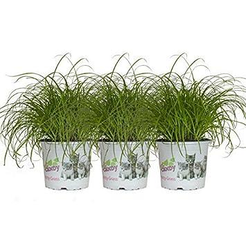 3 Ollas Hierba para gatos, Cyperus Zumula 30cm Hierba de chipre: Amazon.es: Jardín