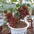 Kisshes10Pcs Jaboticaba Seeds Fruit Seeds Bonsai Grape Tree Plant Seeds Indoor Kyoho Grape Grapes Seeds