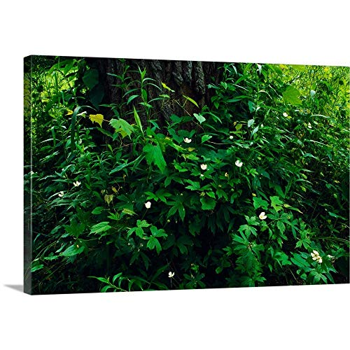 - GREATBIGCANVAS Gallery-Wrapped Canvas Entitled Wood Anemone Flowers (Anemone quinquefolia) Blooming Around Tree Trunk, New York by 18