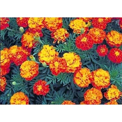 100ct of Mixed Marigold Seeds, Sparky Mix, French Marigolds, Non-Gmo Heirloom Seeds : Garden & Outdoor