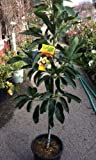 Hass Avocado Tree--Will Arrive Between 3 and 4 Feet Tall