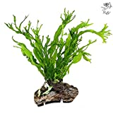 Java Fern by Luffy with 20+ leaves - Beautiful,...