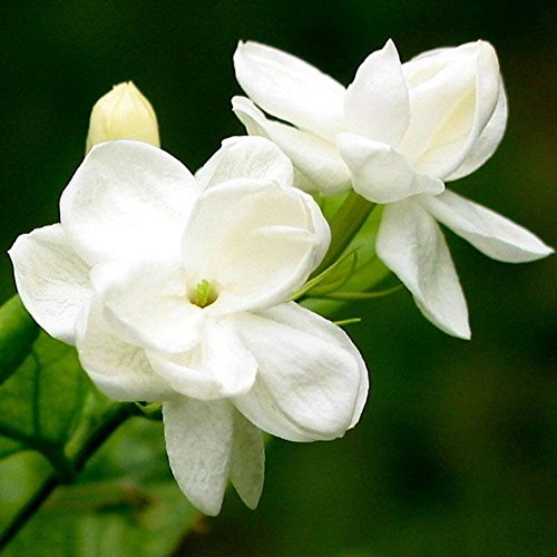 Afco 100Pcs Jasmine Flower Seeds Fragrant Home Garden Plant Seed Bonsai Decor (White)