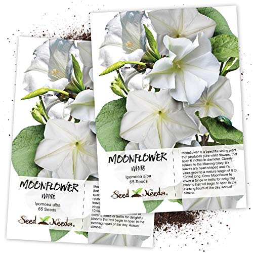 Seed Needs, White Moonflower (Ipomoea alba) Twin Pack of 65 Seeds Each
